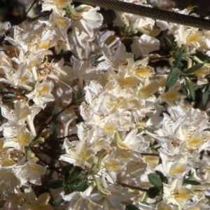 Azalée de Chine 'Daviesi' (Rhododendron x Gand 'Daviesi')
