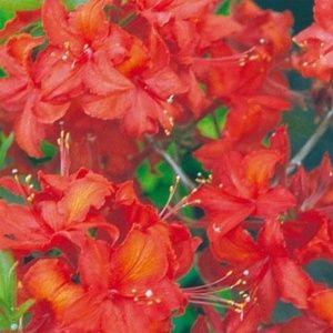 Azalée de Chine 'Royal Lodge' (Rhododendron x Exbury 'Royal Lodge')