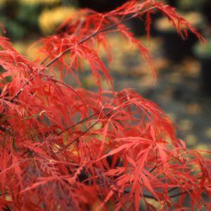 Erable du Japon 'Dissectum Garnet'