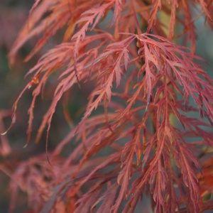 Erable du Japon 'Dissectum Garnet' – pot de 4/5 litres, h 40/60 cm – PLANTES ET JARDINS – Jardinerie en ligne