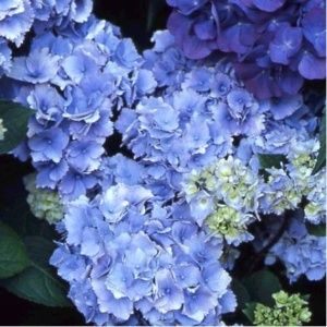 Hortensia 'Amethyst' (Collection 1900) – pot de 3 litres, 5/7 branches