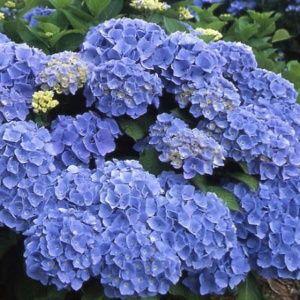Hortensia 'Bodensee' – Pot de 3 litres, 5/7 branches – PLANTES ET JARDINS – Jardinerie en ligne