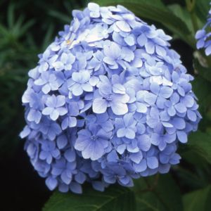 Hortensia 'Mousseline' (Collection 1900)
