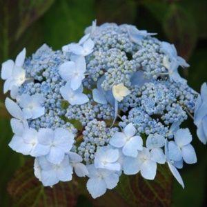 Hortensia 'Blue Deckle' – pot de 3 litres, 5/7 branches