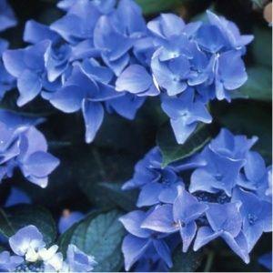 Hortensia 'Pfau' (Hydrangea macrophylla 'Pfau')