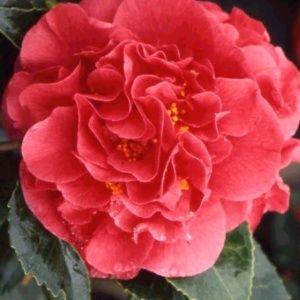 Camélia japonica 'Kramer's Supreme' pot 4L, ht 40/50 cm