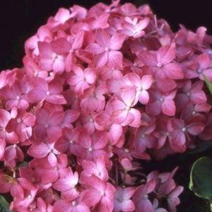 Hortensia 'Hornli' (Hydrangea macrophylla 'Hornli')