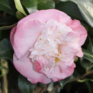 Camélia japonica 'Nuccio's Jewel' – Pot de 2 litres, hauteur 20/30 cm – PLANTES ET JARDINS – Jardinerie en ligne
