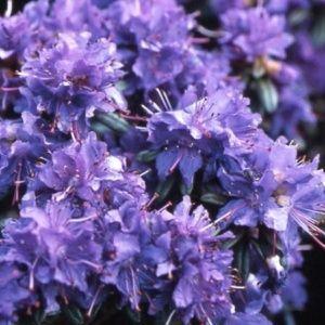 Rhododendron nain 'Azurika' – Pot de 3/5 litres, hauteur 25/35 cm, 3 ans d'âge.