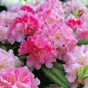 Rhododendron yak 'Doc' – Pot de 3/5 litres, hauteur 25/35 cm, 3 ans d'âge.