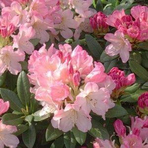 Rhododendron yak 'Percy Wiseman' – Pot de 3 litres, hauteur 25/35 cm – PLANTES ET JARDINS – Jardinerie en ligne