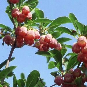 Enkianthus à fleurs de campanule 'Red Bells' – pot de 5 litres, hauteur 40/50 cm