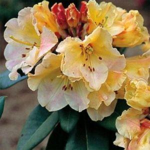 Rhododendron 'Horizon Monarch' – pot de 5 litres