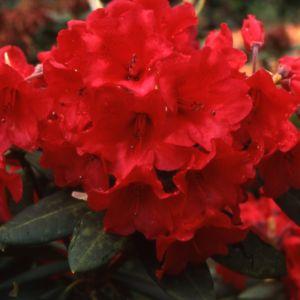 Rhododendron 'Melville' – pot de 5 litres, hauteur 30/50cm, 3 ans d'âge