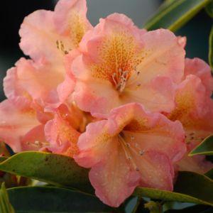 Rhododendron 'Olga' – pot de 5 litres, hauteur 30/50cm, 3 ans d'âge