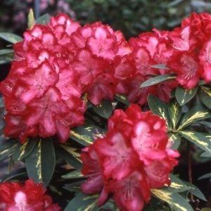 Rhododendron 'President Roosevelt' – pot de 5 litres, hauteur 30/50cm, 3 ans d'âge