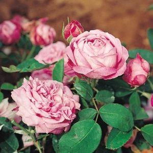 Rosier ancien 'La Reine' (Rosa x  'La Reine')