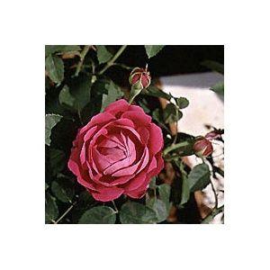 Rosier 'Roxburghii' (Rosa x 'Rosa Roxburghii')
