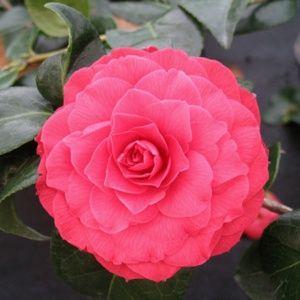 Camélia 'Black Lace' – Pot de 4 litres, hauteur 40/50 cm – PLANTES ET JARDINS – Jardinerie en ligne
