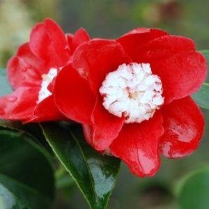 Camélia 'Bokuhan' (Camellia japonica 'Bokuhan')