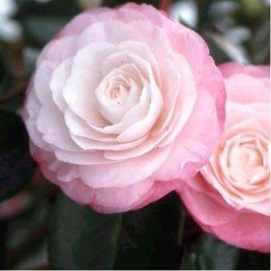 Camélia 'Désir' – Pot de 4 litres, hauteur 40/50 cm, 4 ans d'âge – PLANTES ET JARDINS – Jardinerie en ligne