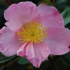 Camélia d'automne 'Plantation Pink' – Pot de 4 litres