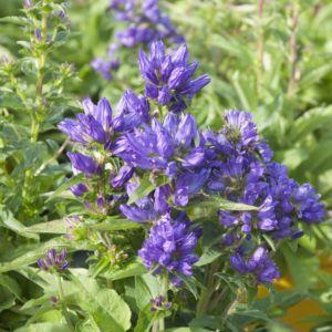 Campanule à bouquets 'Superba' bleue (Campanula glomerata 'Superba')