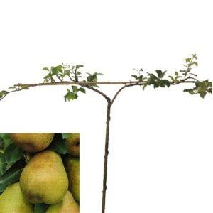 Planter un arbre fruitier form le magazine gamm vert - Taille du poirier william ...