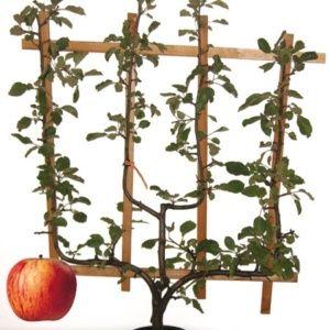 Pommier 'Reine des Reinettes' : taille en palmette verrier – Hauteur totale:140/160cm – PLANTES ET JARDINS – Jardinerie en ligne