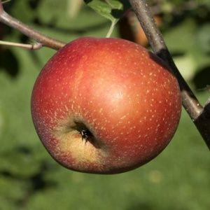 Arbres fruitiers dans le catalogue