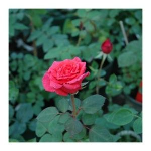 Rosier 'Eglantine Guillot' (Rosa x 'Eglantine Guillot')