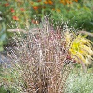 Carex buchananii (Carex buchananii)