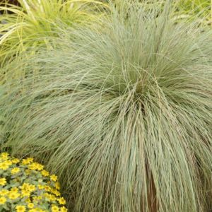 Carex comans frosted curls – Lot de 3 godets de 7 cm