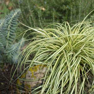 Carex oshimensis evergold – Lot de 3 godets de 7 cm