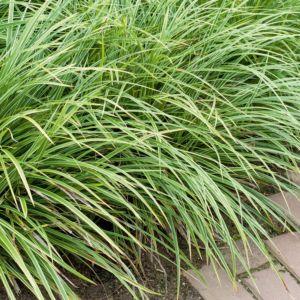 Carex morrowii variegata – Lot de 3 godets de 7 cm