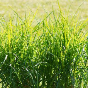 Carex muskingumensis – Lot de 3 godets de 7 cm