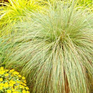 Carex pendula – Lot de 3 godets de 7 cm