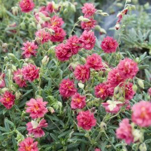 Helianthemum cerise queen – Lot de 3 godets de 7 cm