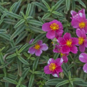 Helianthemum raspberry ripple – Lot de 3 godets de 7 cm