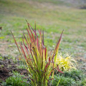 Imperata cylindrica 'Red Baron', le lot de 3 – Lot de 3 plants en godets – PLANTES ET JARDINS – Jardinerie en ligne