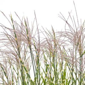 Miscanthus sinensis 'Zebrinus'  (Miscanthus sinensis 'Zebrinus')