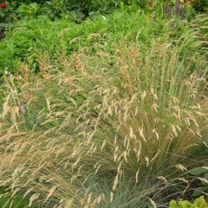 Molinia caerula – Lot de 3 godets de 7 cm
