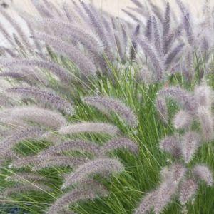 Pennisetum orientalis – Lot de 3 godets de 7 cm