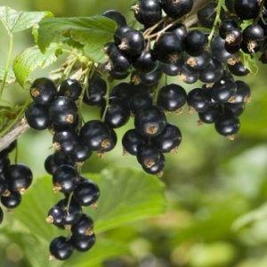Cassissier Noir de Bourgogne, le lot de 3