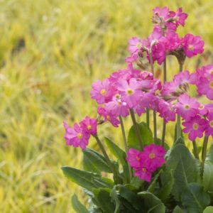 Primevère rose grandiflora delight – Lot de 3 godets de 7 cm