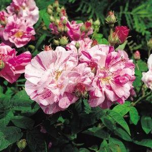Rosier 'Gallica Versicolor ' (Rosa x 'Gallica Versicolor')