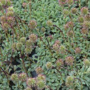 Acaena buchananii – Lot de 3 godets de 7 cm