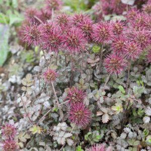 Acaena microphylla kupferteppich – Lot de 3 godets de 7 cm