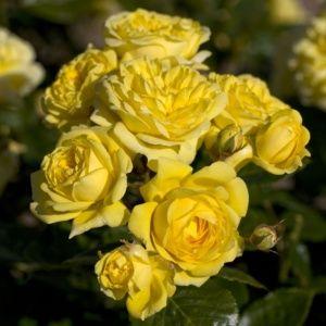 Rosier 'Anny Duperey®' Meitongas (Rosa polyantha 'Anny Duperey®' Meitongas)