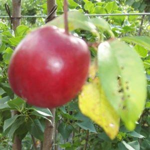 Brugnon 'Violet Cardinal' : taille en gobelet (Prunus persica 'Violet Cardinal')